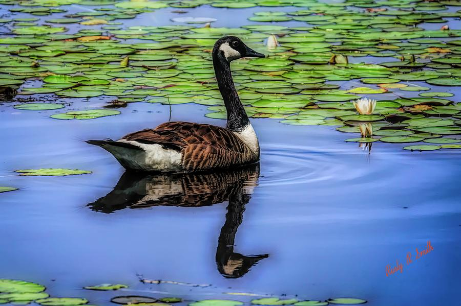 Canada Goose swimming alone. by Rusty R Smith