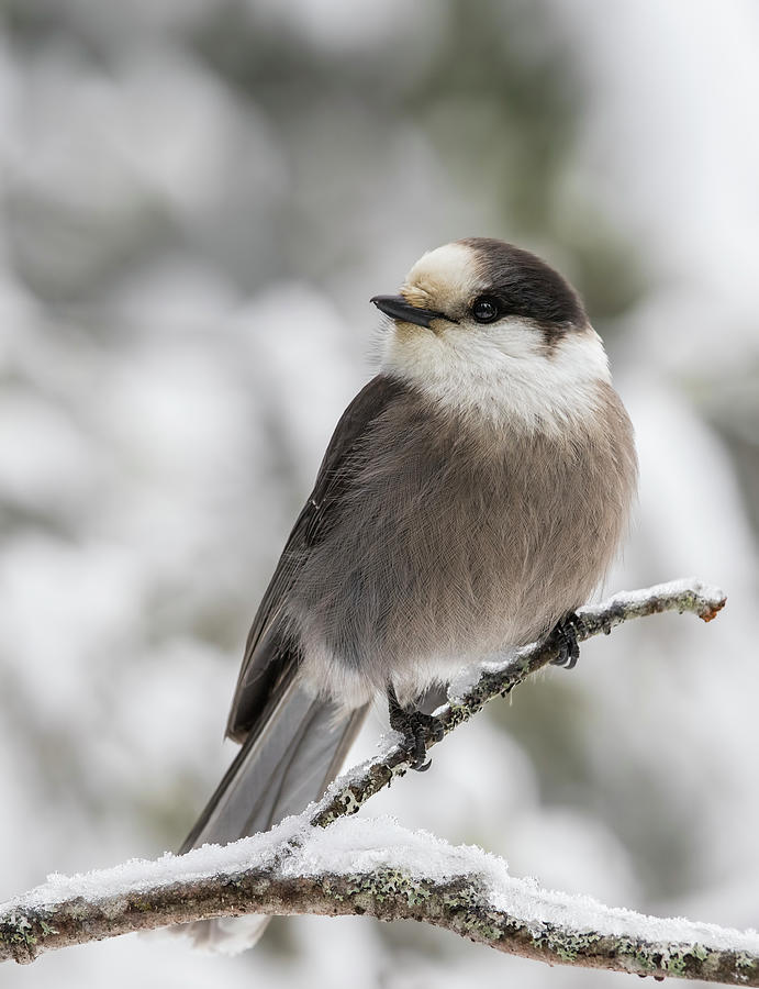 Canada jay in winter by Mircea Costina Photography