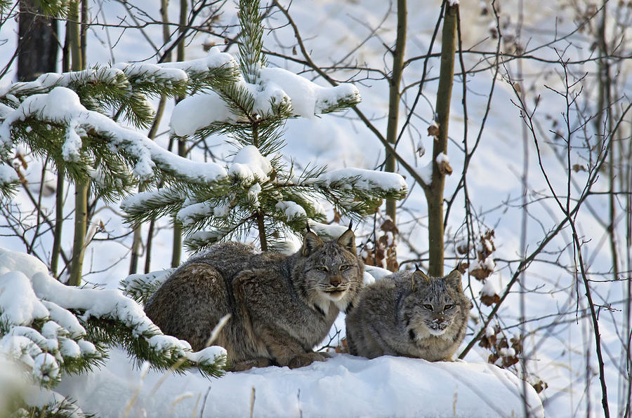Canada Lynx Lynx Canadensis Mother And Photograph by Mark Newman / Design Pics