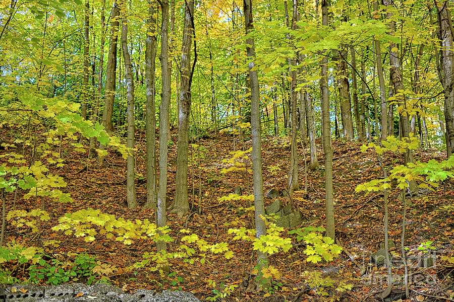 Canadian Forest In Yellow Green And Gold Photograph