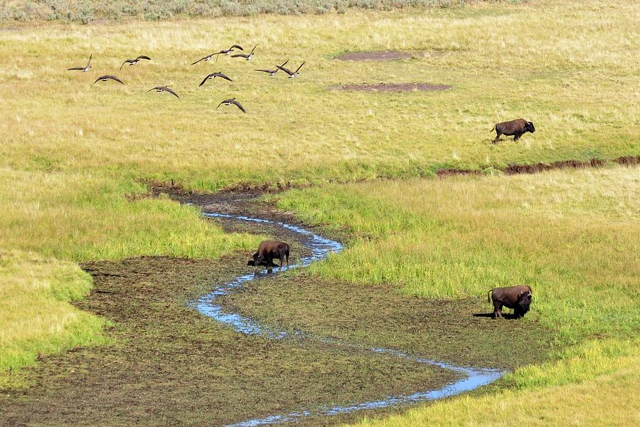Canadian Geese And Bison, Yellowstone Photograph by Brian Bruner