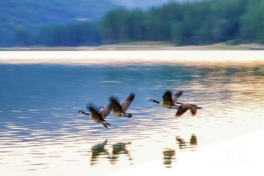 Canadian Geese by Anthony Michael Bonafede