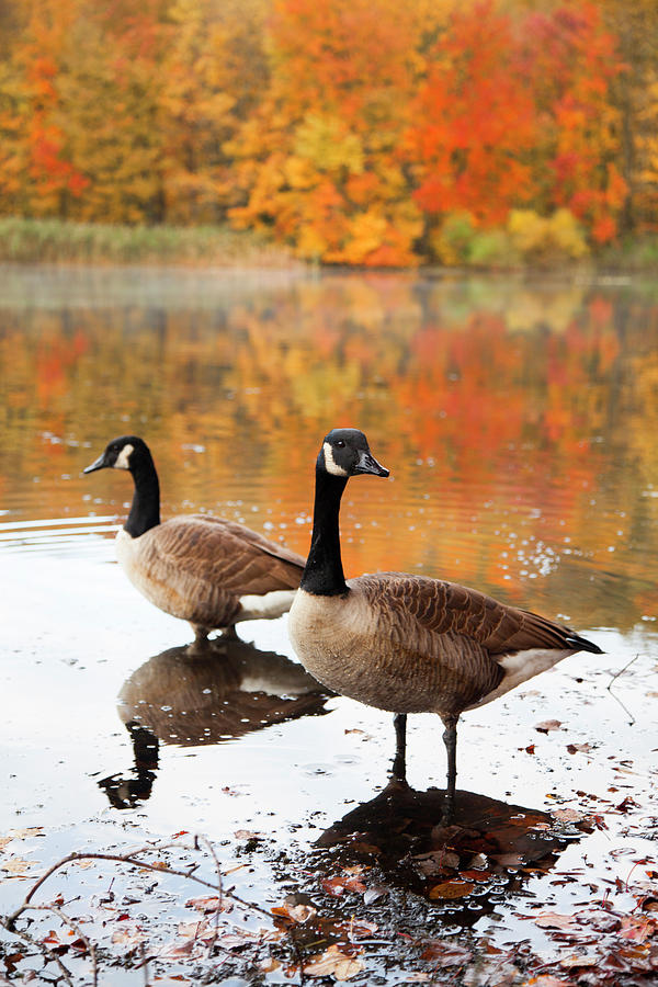 Canadian Geese Enjoying Autumn by Karol Livote