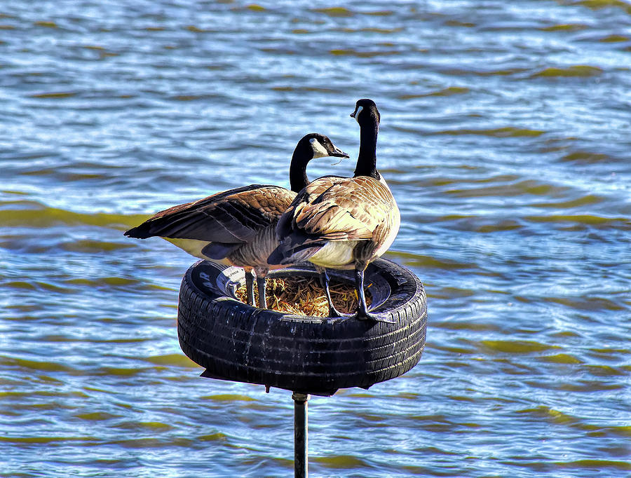 Canadian Geese Perched On A Tire Photograph