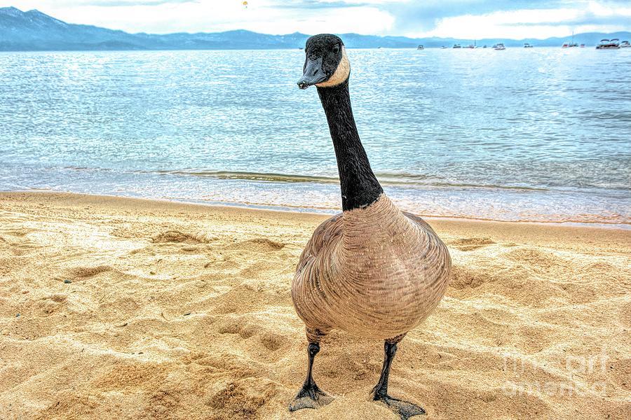 Canadian Goose by Joe Lach