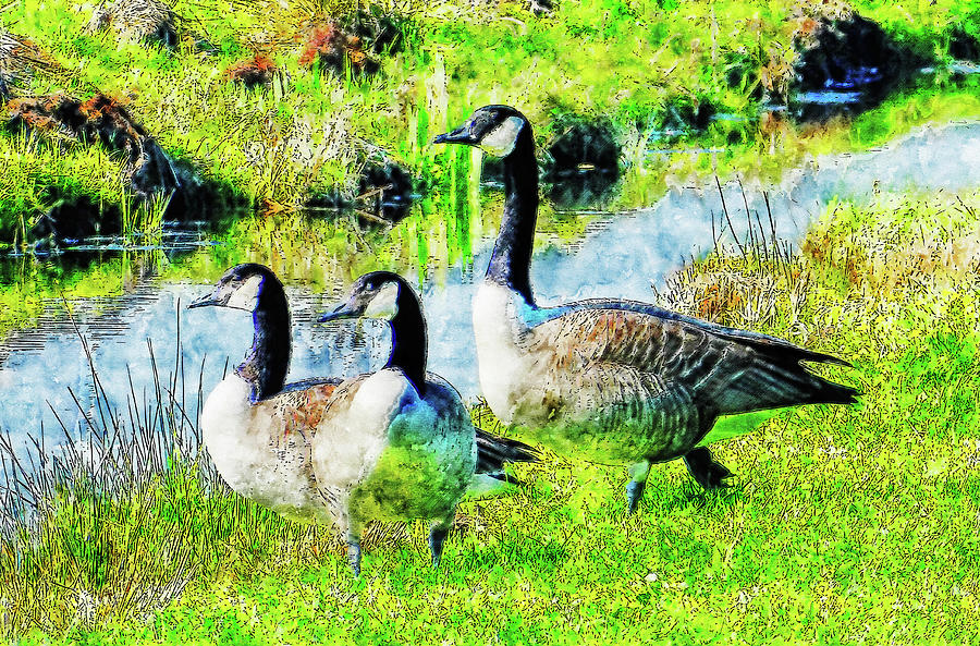 Design Drawing - Canadian goose  watercolor drawing by Hasan Ahmed