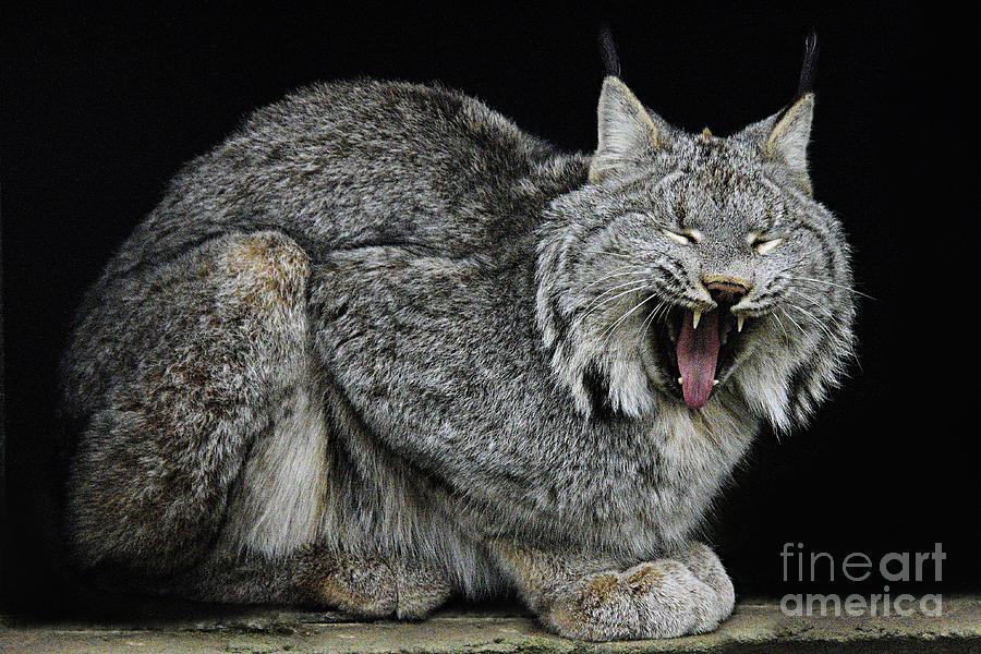 Canadian Lynx by Larry Ricker