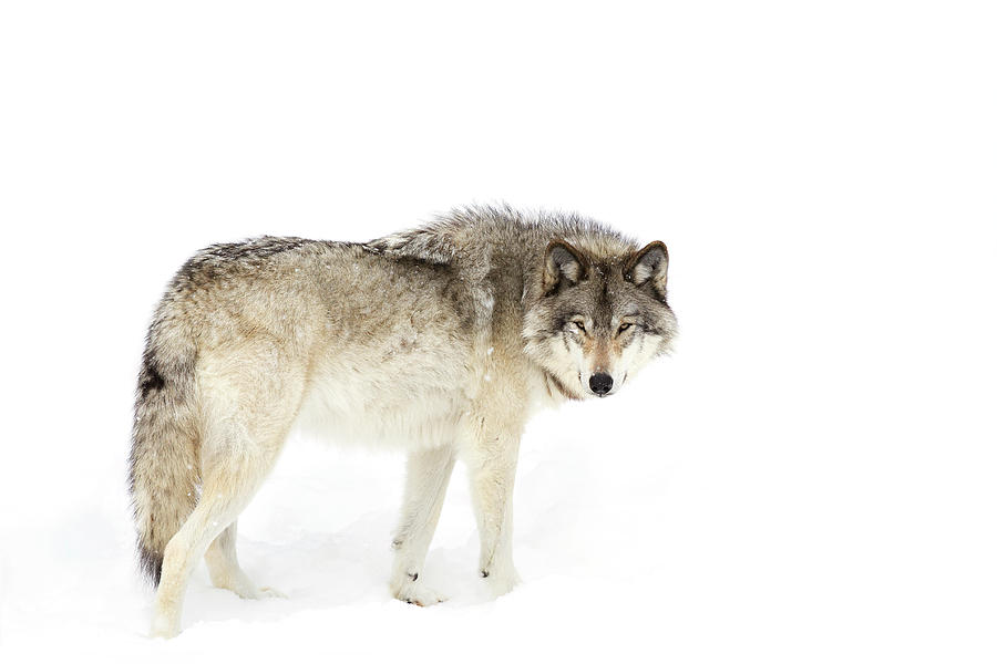 Wolf Photograph - Canadian Timber Wolf Walking Through The Snow by Jim Cumming