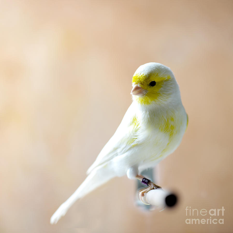 Feather Photograph - Canary Bird Sitting On A Twig by Pieropoma