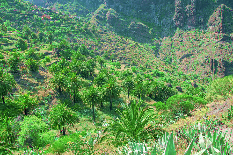 Canary date palms in Masca by Sun Travels