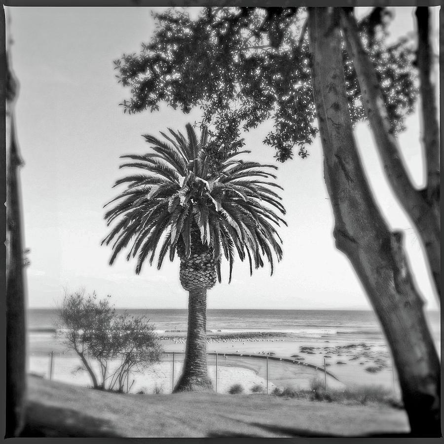 Canary Island Palm Tree by Craig Brewer