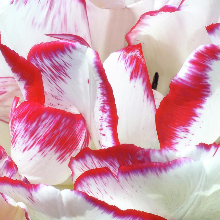 Candy Cane Tulip by Kathi Mirto