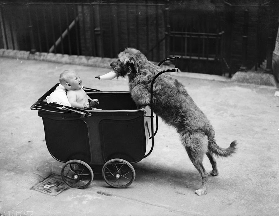 Canine Nurse Photograph by Fox Photos