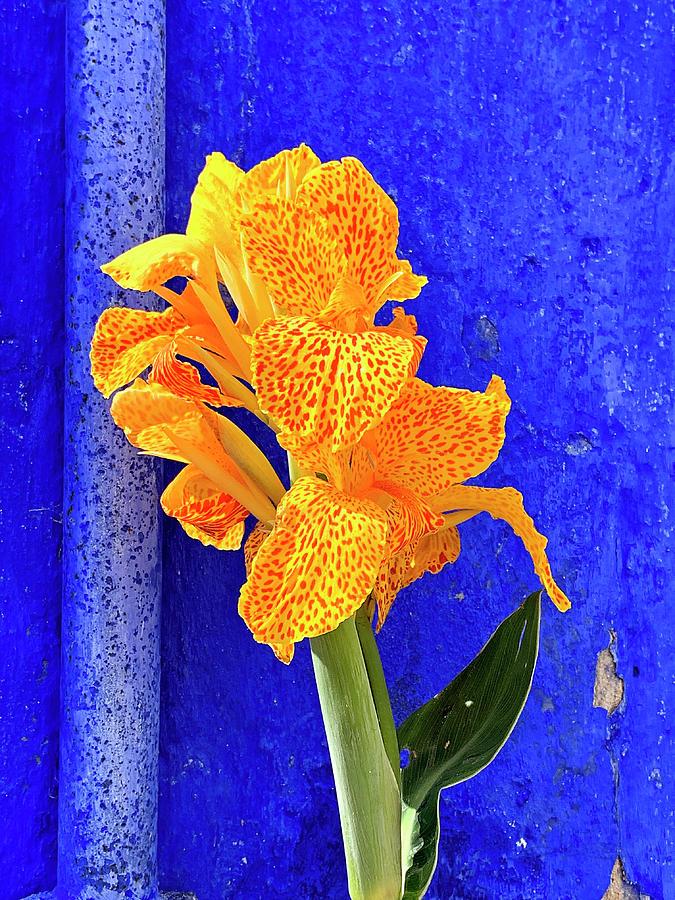 Canna Azure by Jill Love