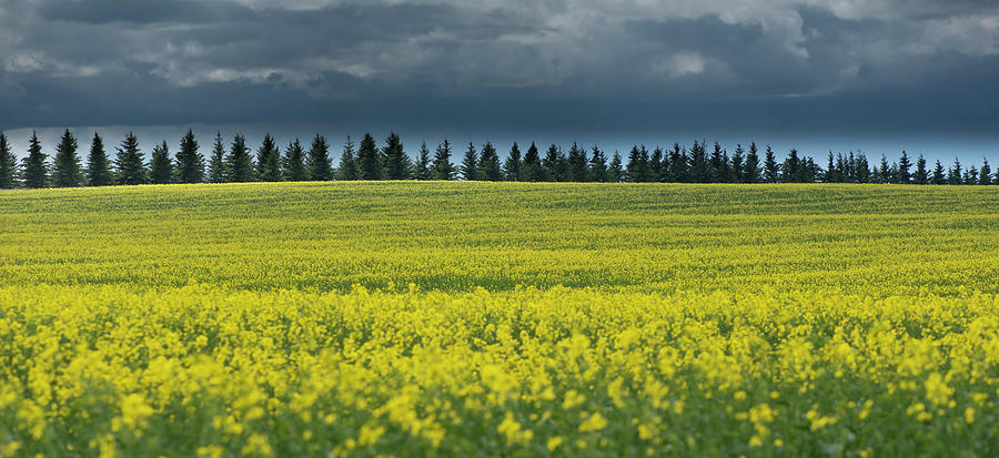 Canola by Philip Rispin