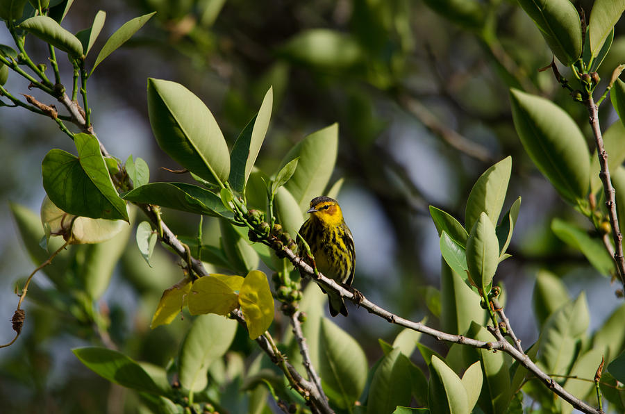 Cape May Warbler Photograph