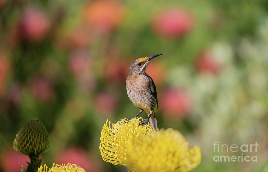 Cape Sugarbird on Protea by Eva Lechner