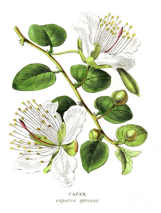 Caper Specie Engraving Illustration Digital Art by Thepalmer