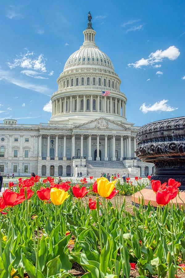Capitol Tulips by Dana Foreman