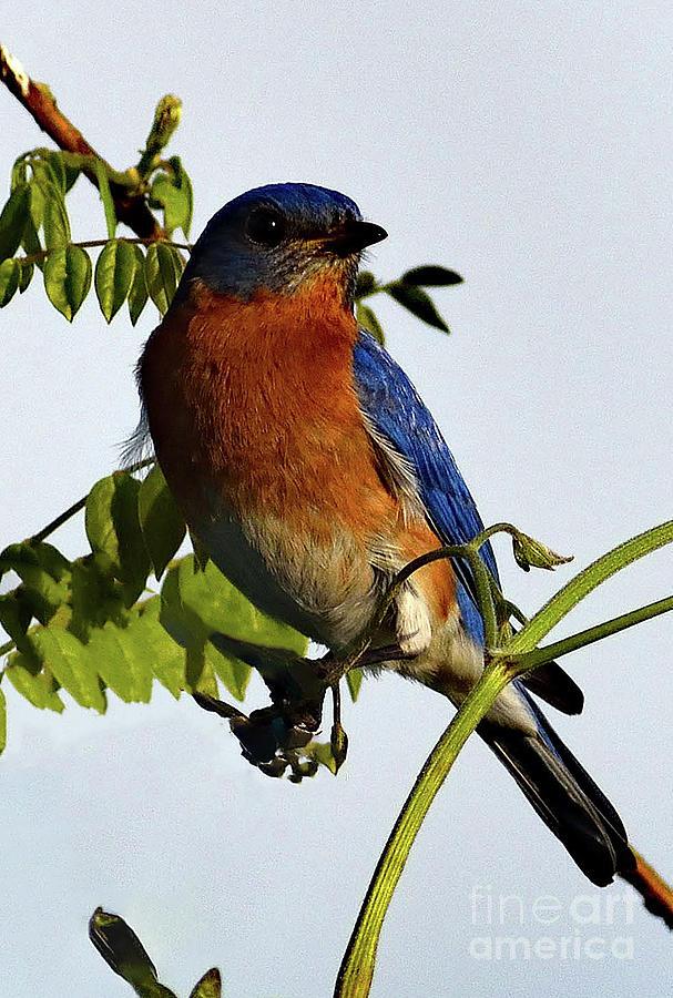 Captivating Beauty Of An Eastern Bluebird Photograph