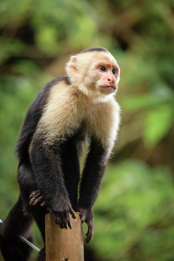 Capuchin Monkey In Costa Rica Photograph