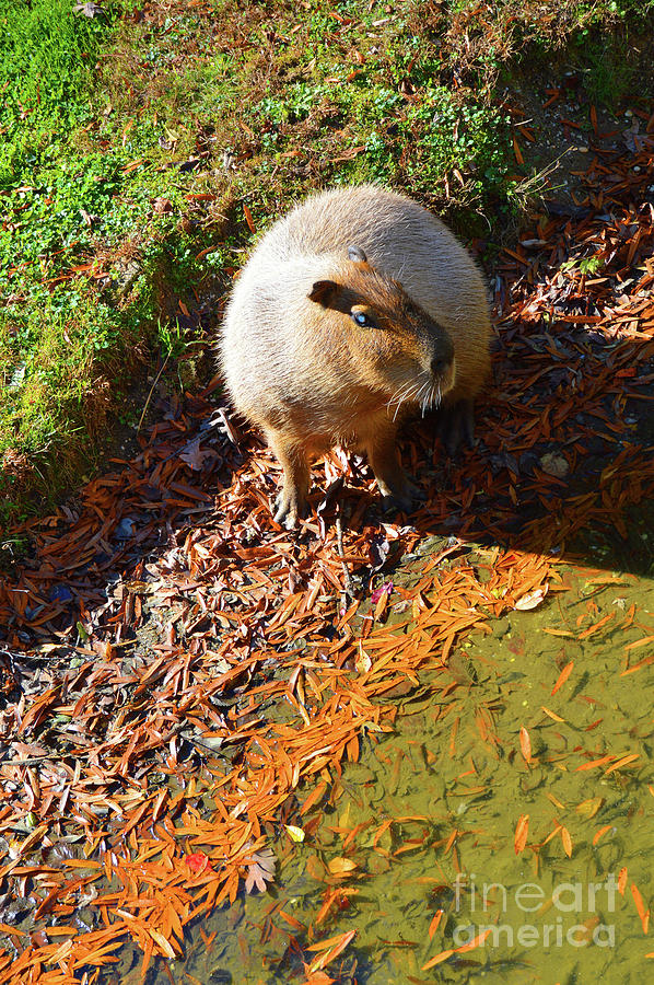 Capybara - Cape May Zoo by Robyn King