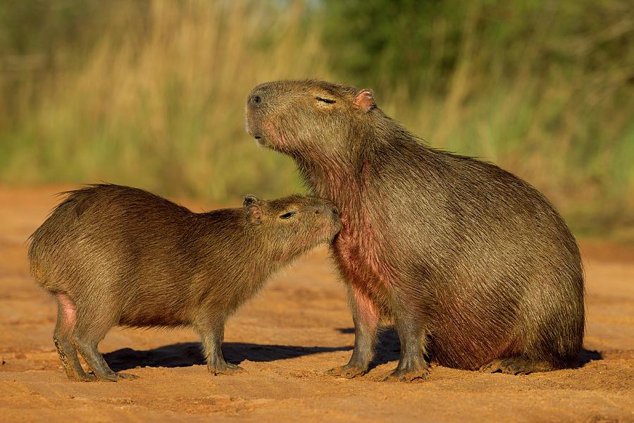 Capybara Juvenline Sniffing Mother Photograph by Sebastian Kennerknecht