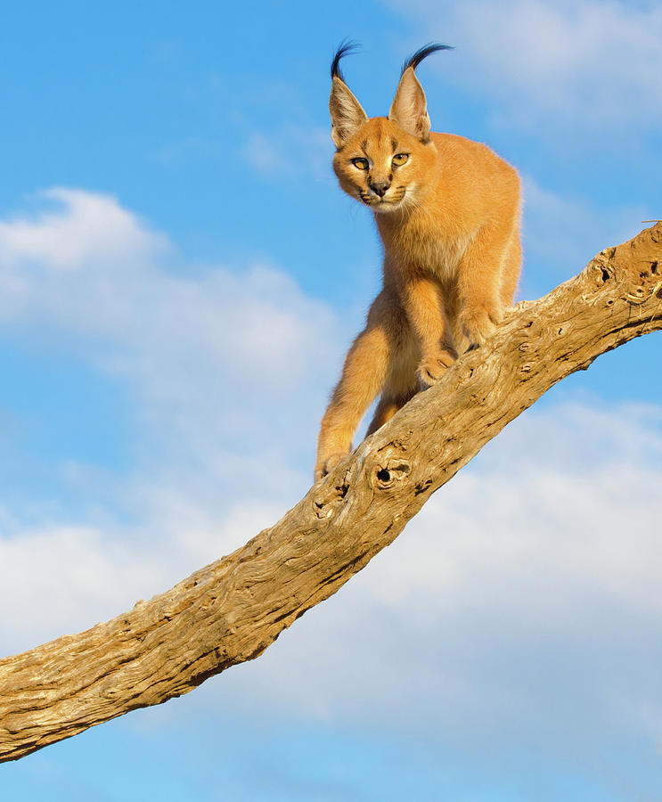 Caracal Cat - South Africa Photograph by Birdimages