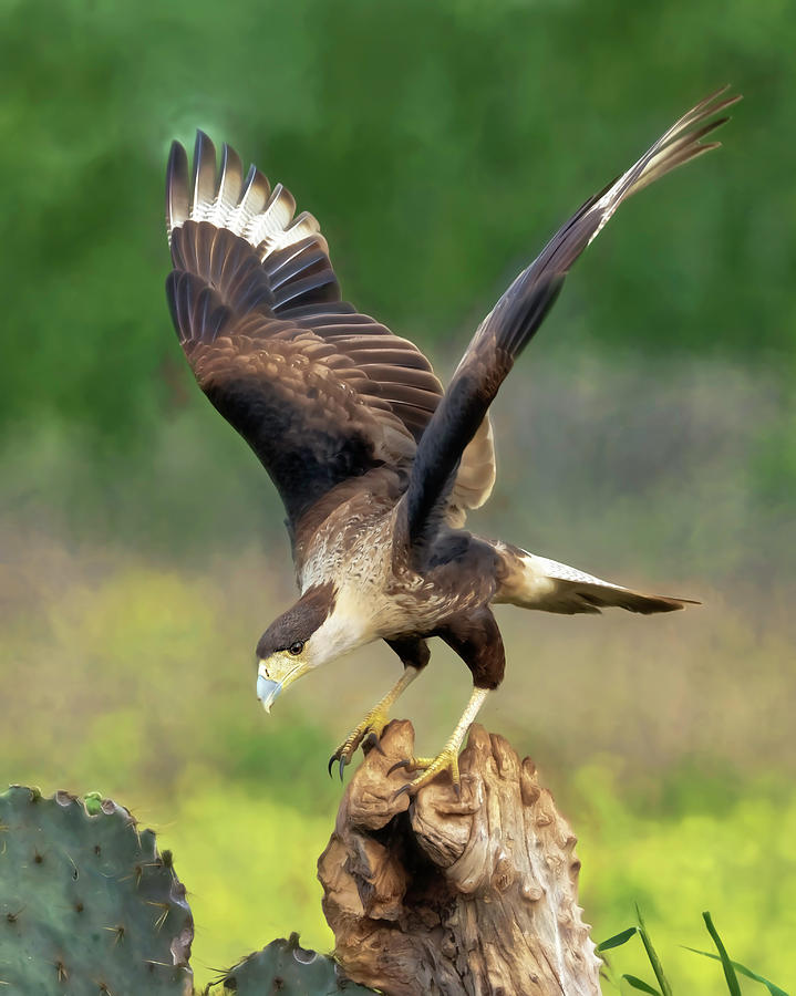 Caracara Landing by Scott Bourne