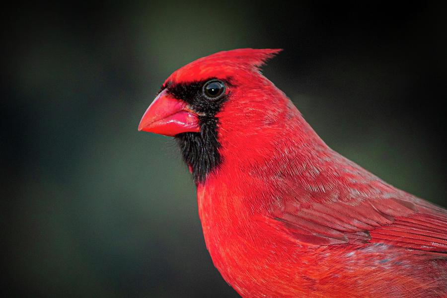 Cardinal by Allin Sorenson