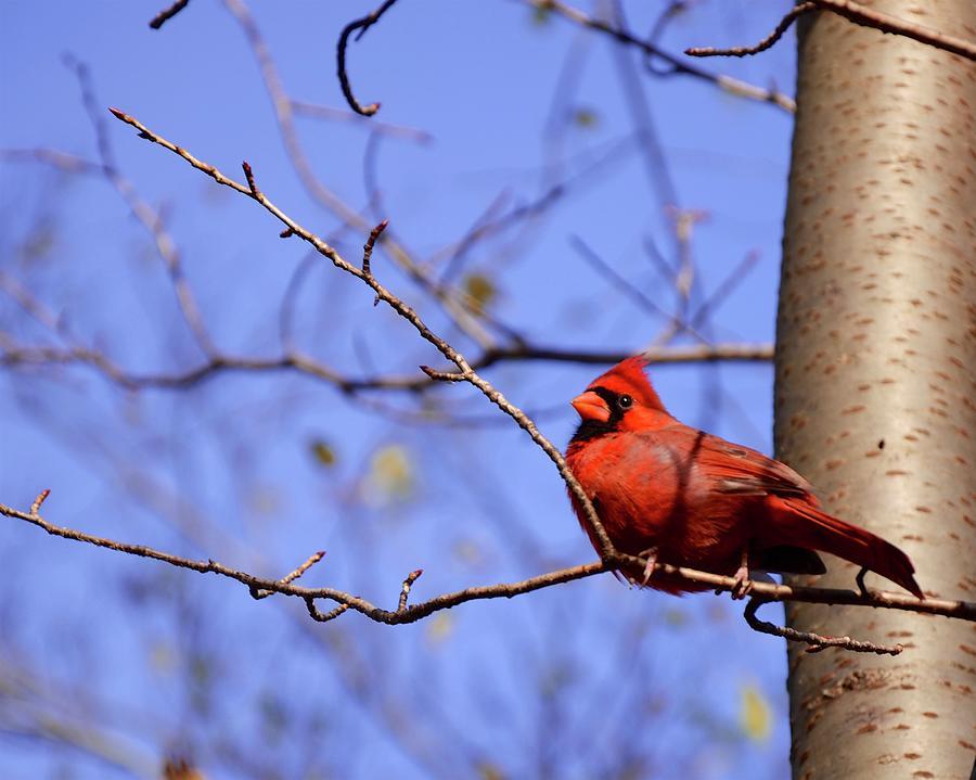 Cardinal by Corinne Rhode