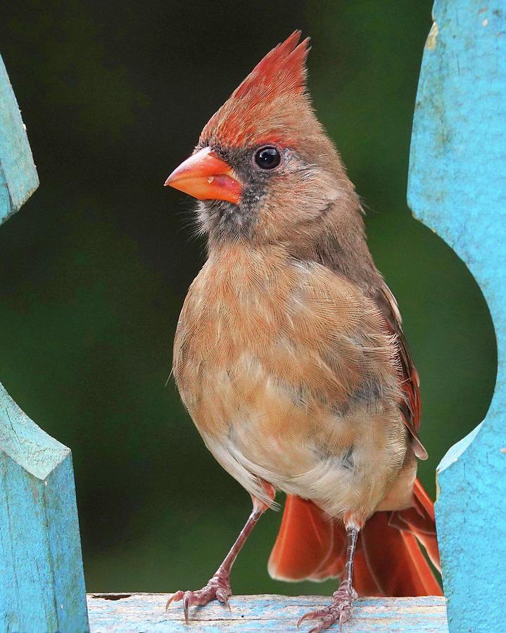 Cardinal On A Blue Pickett Fence Photograph