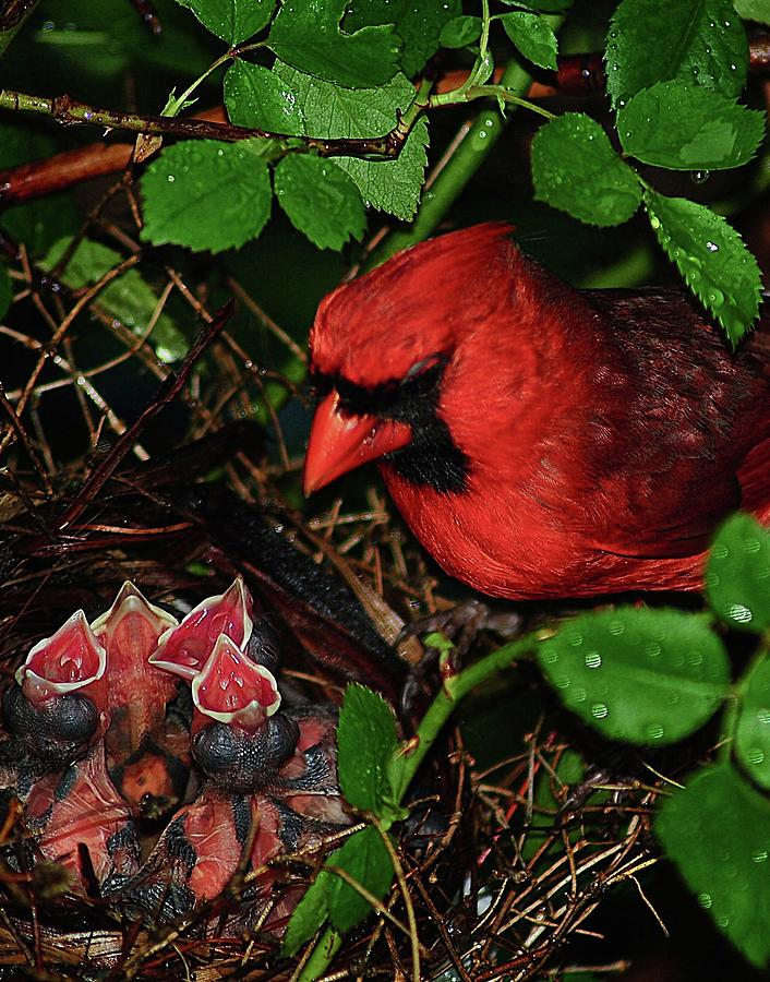 Cardinal Papa and His Children by Frozen in Time Fine Art Photography