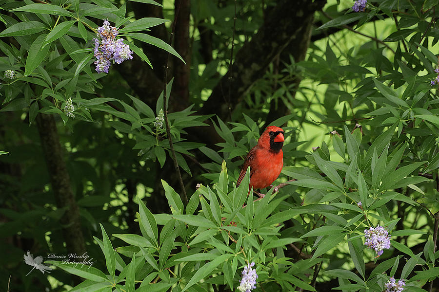 Cardinal Red by Denise Winship
