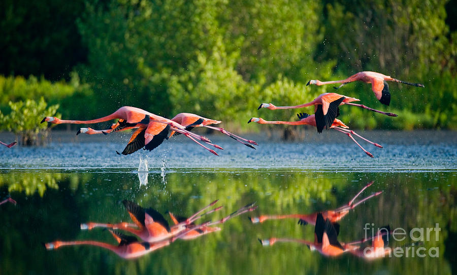 Pink Photograph - Caribbean Flamingos Flying Over Water by Gudkov Andrey