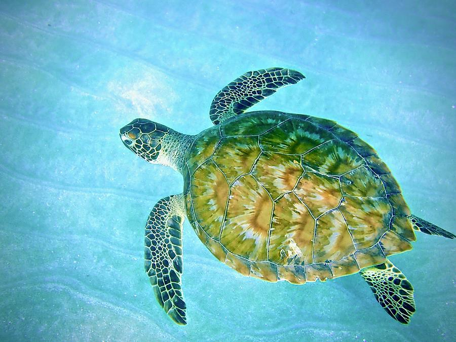 Caribbean Green Sea Turtle Photograph by Annette Kirchgessner