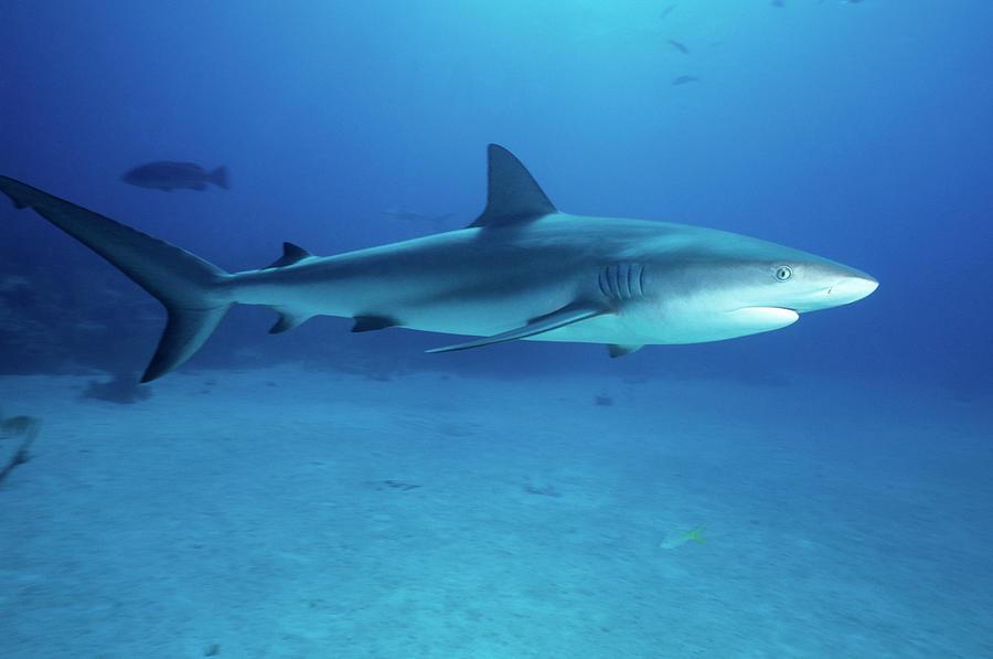 Caribbean Reef Shark Photograph by Tammy616
