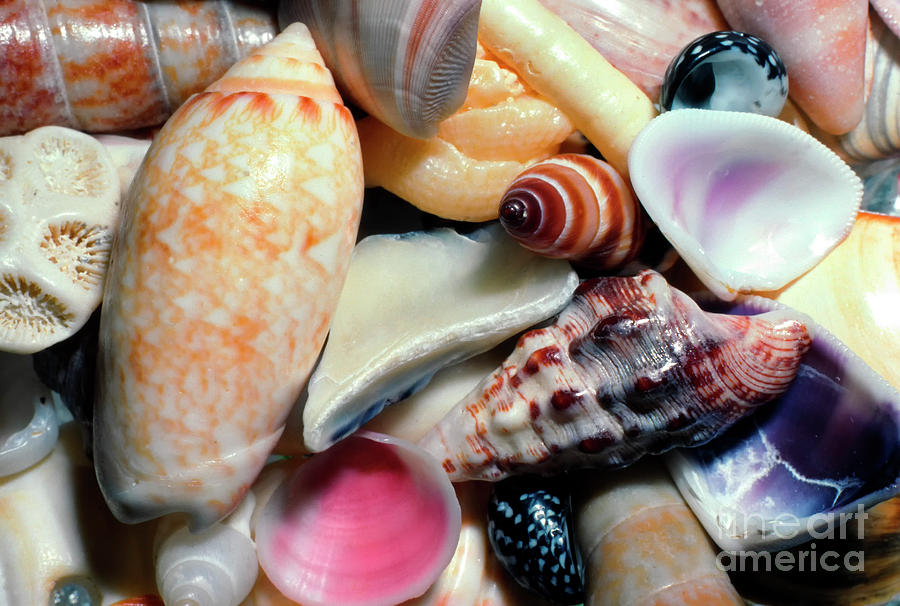 Caribbean Seashell Collection by Thomas R Fletcher