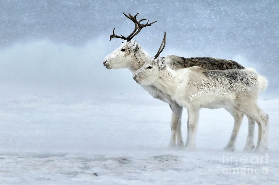 Caribou During Blizzard by Philip Friskorn