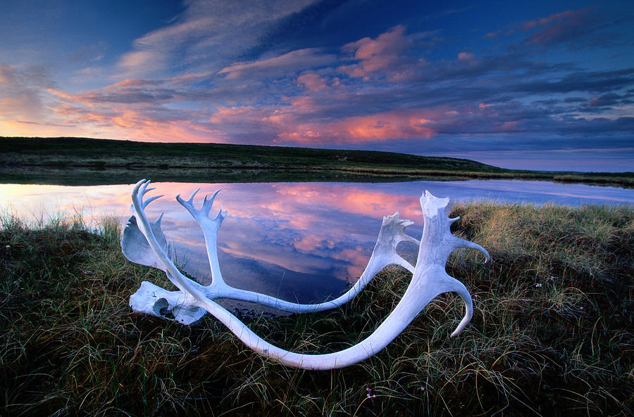 Caribou Skull, Yellowknife Region Photograph by Art Wolfe