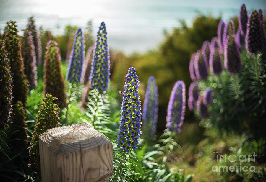 Carmel By The Sea Echium Flowers Beach by Mike Reid
