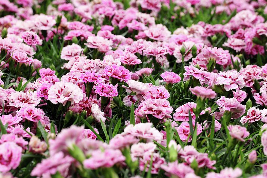 Carnation Photograph by Samxmeg