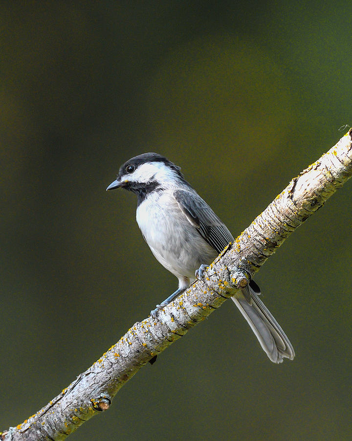 Carolina Chickadee on a branch by Philip Duff