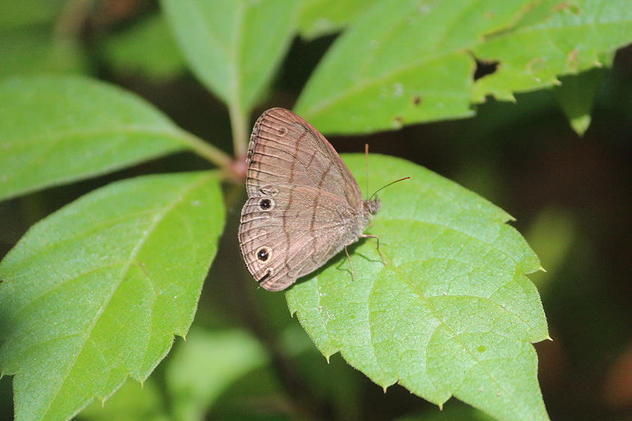 Butterfly Photograph - Carolina Satyr by Callen Harty