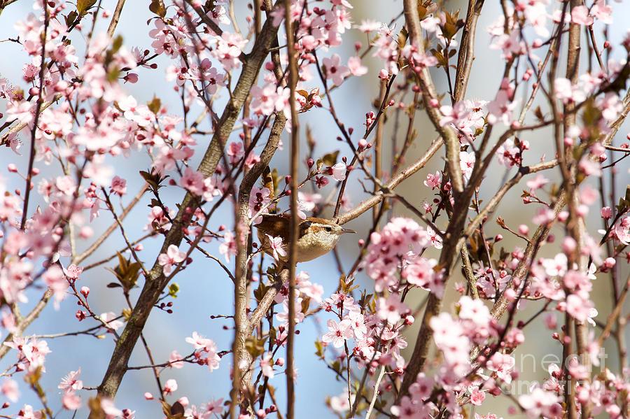 Carolina Wren in Spring Flowers by Rachel Morrison