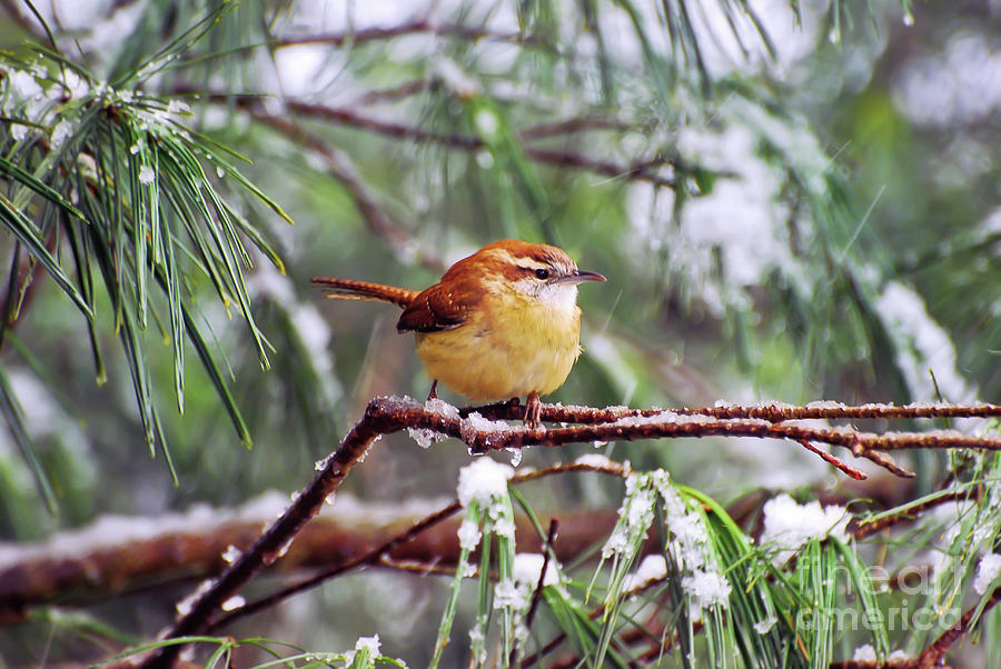 Carolina Wren on Ice by Kerri Farley