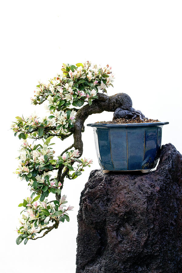 Cascading Bonsai Tree by Patty Colabuono
