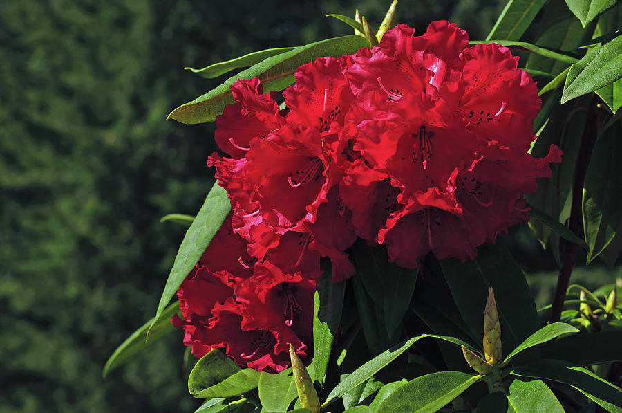 Cascading Red Rhoddies by Tikvah's Hope