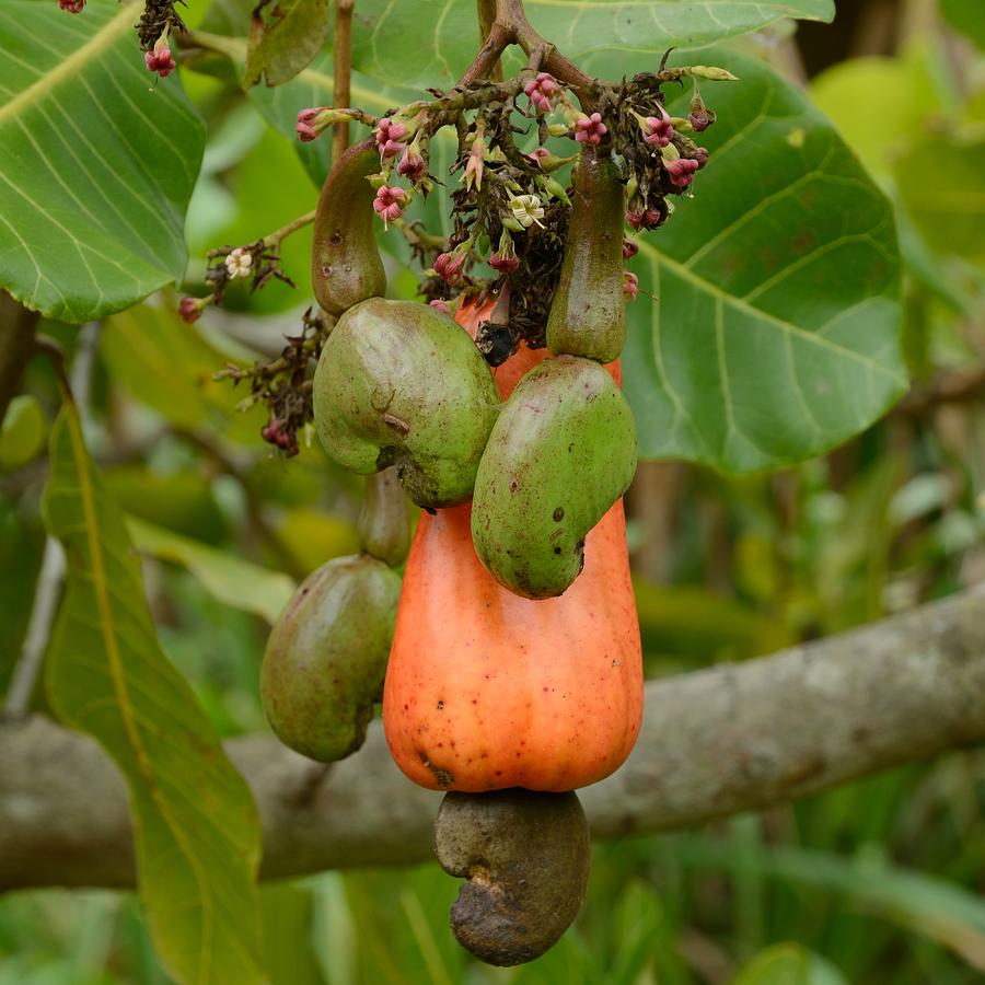 Cashew Apple and nuts - Square by Bradford Martin