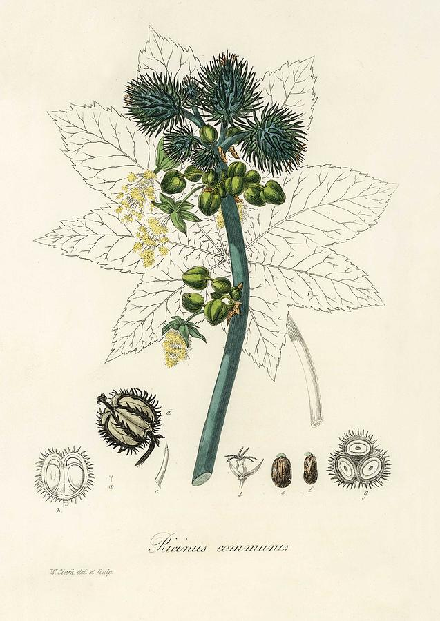 Castor Oil Plant Ricinus Communs Illustration From Medical Botany 1836 By John Stephenson And Ja Painting By John Stephenson And James Morss Churchill